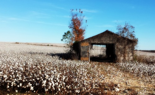 11-9-2014 - Cotton field