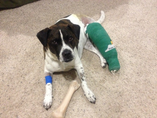11-28-2012 - Bella after ACL surgery