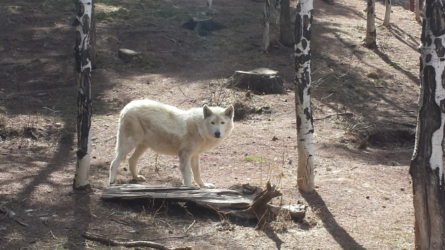 4-2-2015 - Colorado Wolf & Wildlife Center 17